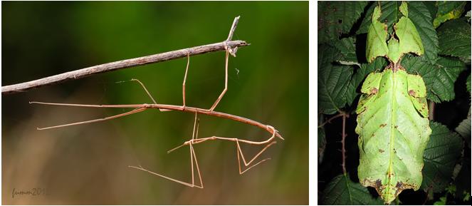 Например, привиденьевые, или палочники, или листовидки, или страшилки маскируются под листья и ветки растений для того, чтобы остаться незамеченными.